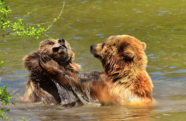Brown Bears playing in the river