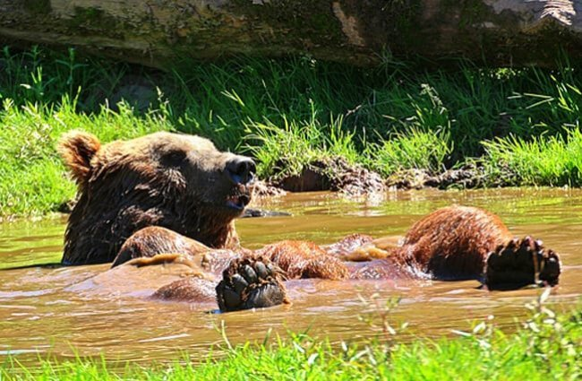 Brown Bear lounging in nature's hot tub