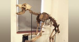 Skeleton of cave bear in Postojna museumPhoto by: Tiia Monto CC BY-SA 3.0 https://creativecommons.org/licenses/by-sa/3.0