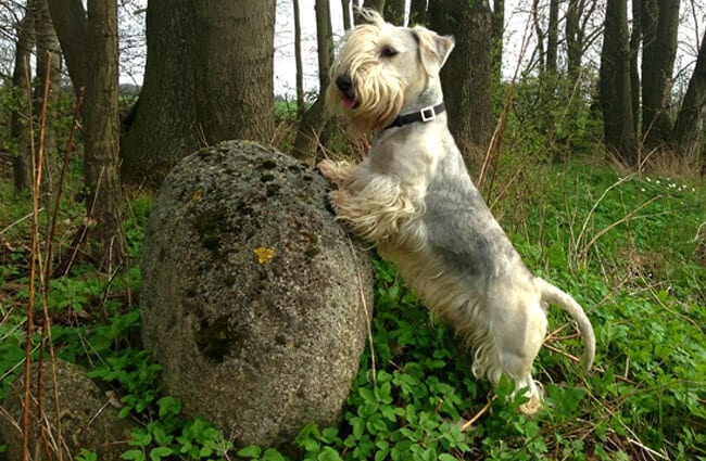 Cesky Terrier on a rock in the forest