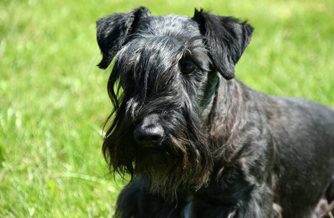 Closeup portrait of a Cesky Terrier