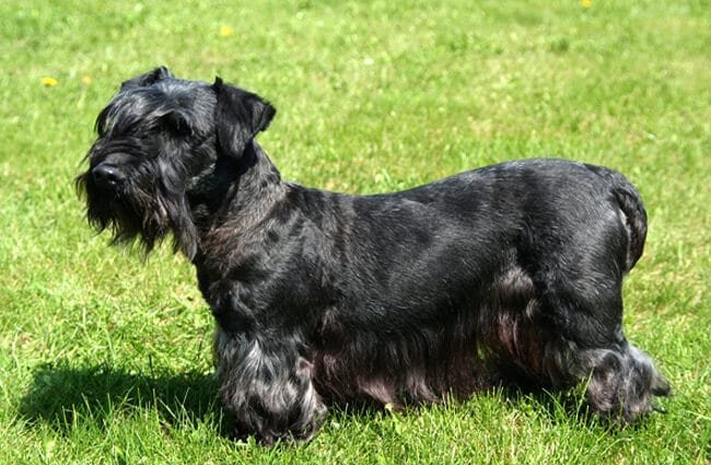 Black Cesky Terrier in the park