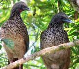 A Pair Of Colombian Chachalaca In A Treephoto By: Félix Uribehttps://creativecommons.org/licenses/by-Sa/2.0/