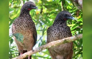 A pair of Colombian Chachalaca in a treePhoto by: Félix Uribe//creativecommons.org/licenses/by-sa/2.0/