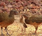 Plain Chachalacas Feeding A Baby Photo By: Rio Grande Valley Birding Festival Https://creativecommons.org/licenses/by-Sa/2.0/