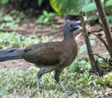 Grey-Headed Chachalaca Photo By: Hans Norelius Https://creativecommons.org/licenses/by-Sa/2.0/