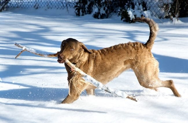 Chesapeake Bay Retriever with his rather large stick in the snow Photo by: Brian Black https://creativecommons.org/licenses/by-sa/2.0/
