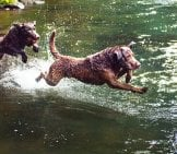 Chesapeake Bay Retrievers Right At Home In The River