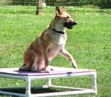 Chinook Waiting On An Agility Course Platform Photo By: Jude Cc By 2.0 (Https://creativecommons.org/licenses/by/2.0