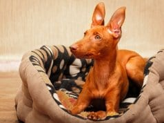 Young Cirneco dell'Etna on his bed