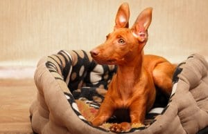 Young Cirneco dell'Etna on his bed Photo by: (c) DragoNika www.fotosearch.com