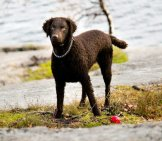 Curly Coated Retriever A Day At The River Photo By: Mattias Agar Https://creativecommons.org/licenses/by-Sa/2.0/