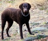 Curly Coated Retriever While Huntingphoto By: Mattias Agarhttps://creativecommons.org/licenses/by-Sa/2.0/