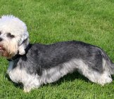 Beautiful Dandie Dinmont Terrier Photo By: (C) Capturelight Www.fotosearch.com