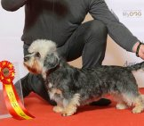 Champion Dandie Dinmont Terrier After A Dog Show Photo By: Svenska Mässan Https://creativecommons.org/licenses/by/2.0/