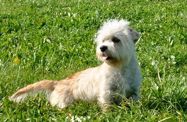 Dandie Dinmont Terrier posing in the gardenPhoto by: Bonfirebuddy at Dutch Wikipedia CC BY-SA 3.0 http://creativecommons.org/licenses/by-sa/3.0/