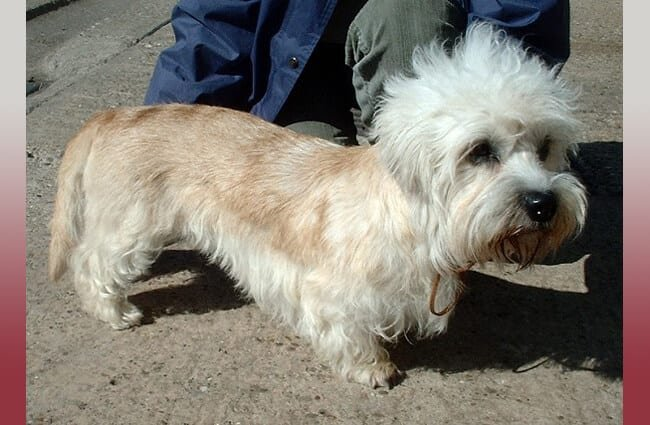 Dandie Dinmont Terrier on a walk Photo by: en:User:Sannse CC BY-SA 3.0 http://creativecommons.org/licenses/by-sa/3.0/