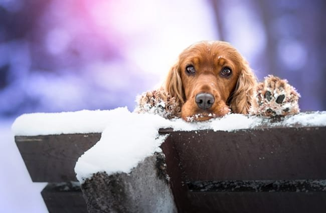 English Cocker Spaniel ready to play in the snow