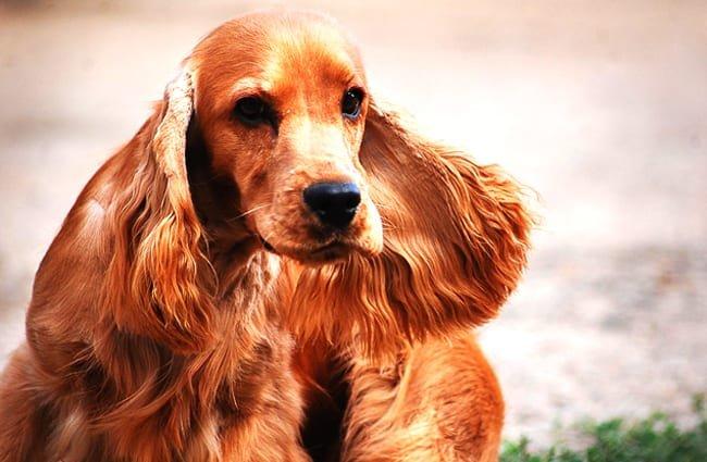 Beautiful English Cocker Spaniel with characteristic ears