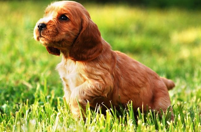 English Cocker Spaniel Description Habitat Diet Interesting Facts