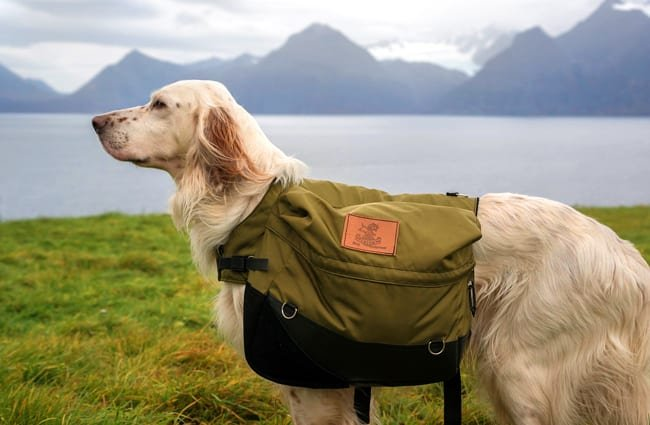 English Setter carrying his gear while hiking