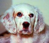 Portrait Of An English Setter Puppy