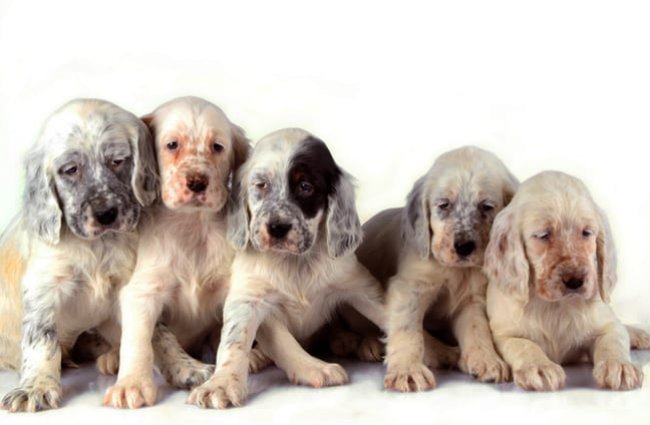 A passel of English Setter puppies