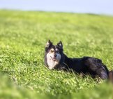 Finnish Lapphund Looking Back From The Meadow Photo By: Jean-Jacques Halans Https://creativecommons.org/licenses/by-Nc-Sa/2.0/