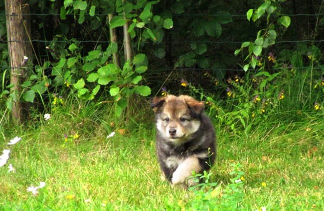Finnish Lapphund puppy running through a meadow Photo by: Tiuku Talvela https://creativecommons.org/licenses/by-nc-sa/2.0/