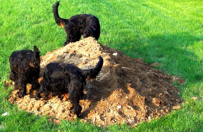 Gordon Setter puppies excavating a dirt mound Photo by: Jakey or, Jakes or JW https://creativecommons.org/licenses/by-nc/2.0/