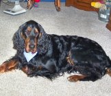 Gordon Setter Relaxing In The House Photo By: Jakey Or, Jakes Or Jw Https://Creativecommons.org/Licenses/By-Nc/2.0/