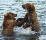 Two Kodiak Bears Playing In The Frigid Water