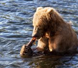 Kodiak Bear Dining On A Fish
