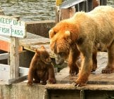 Mother Kodiak Bear On The Dock With Her Cub