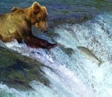 Very Thin Kodiak Bear, Fishing After Awakening From Hibernation