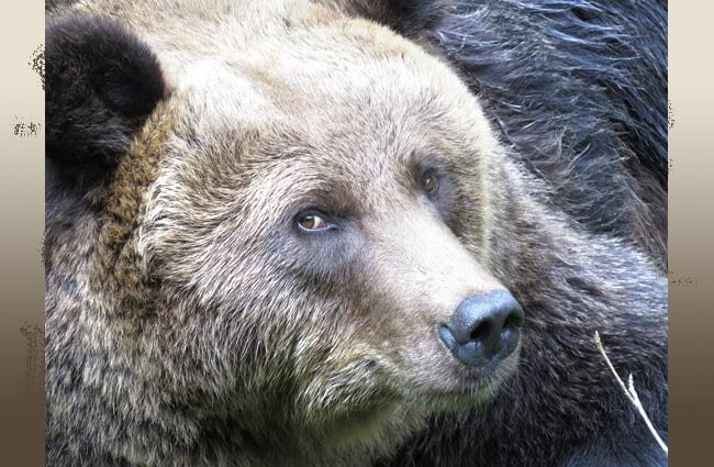 Closeup of a large Kodiak Bear
