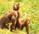 A Pair Of Kodiak Bear Cubs
