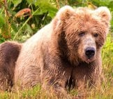 Large Kodiak Bear