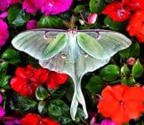 Beautiful Luna Moth In A Bed Of Flowers