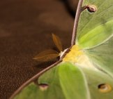 Closeup Of A Beautiful Luna Moth