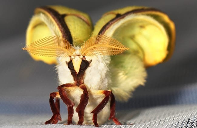 Newly emerged Luna Moth Photo by: Judy Gallagher https://creativecommons.org/licenses/by-sa/2.0/