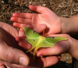 Luna Moth Investigating A Child's Hands Photo By: Woodleywonderworks Https://creativecommons.org/licenses/by-Sa/2.0/