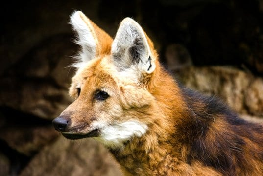 Closeup of a Maned Wolf
