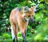 Maned Wolf In The Woods Photo By: Alexander Day Https://creativecommons.org/licenses/by/2.0/