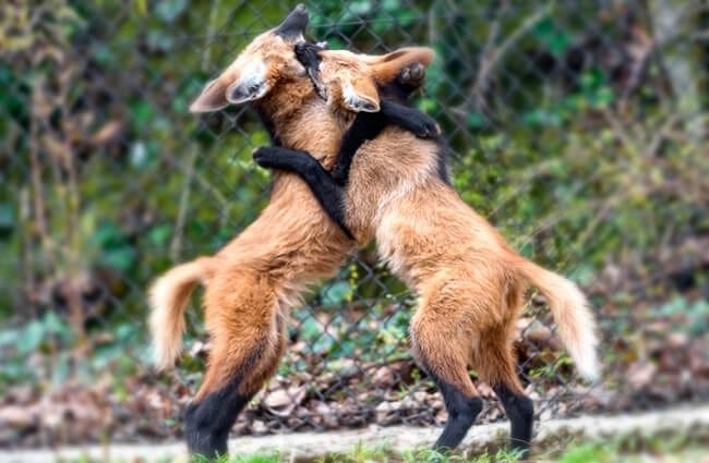 Young Maned Wolves wrestling Photo by: Tambako The Jaguar https://creativecommons.org/licenses/by/2.0/