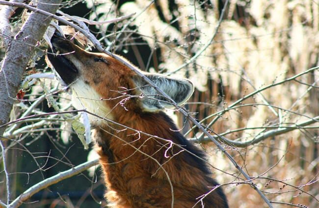 Maned Wolf enrichment - food placed in a tree Photo by: James H https://creativecommons.org/licenses/by/2.0/