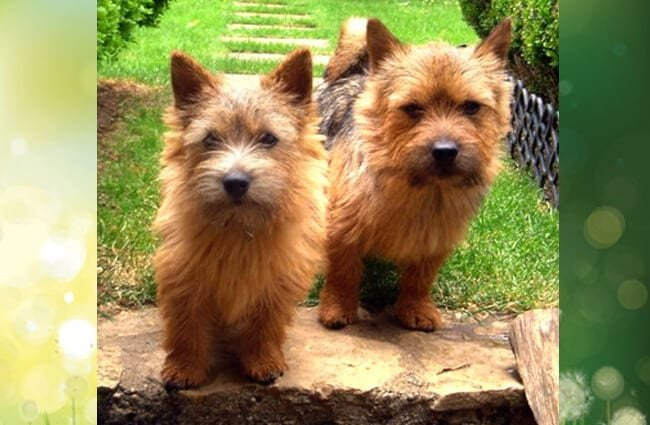 A pair of Norwich Terrier posing for a pic Photo by: H. Gisin CC BY-SA 3.0 http://creativecommons.org/licenses/by-sa/3.0/