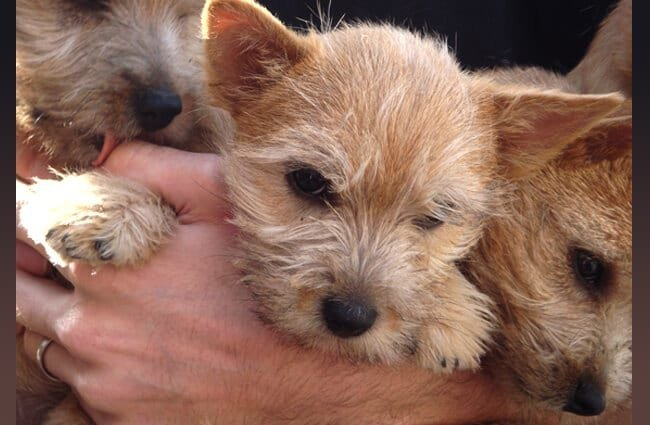 Norwich Terrier puppies Photo by: Zoe Corkhill https://creativecommons.org/licenses/by-nc-sa/2.0/