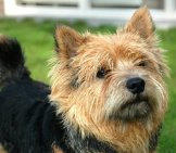 Norwich Terrier Closeup Photo By: Marco Nijland Https://creativecommons.org/licenses/by-Nc-Sa/2.0/