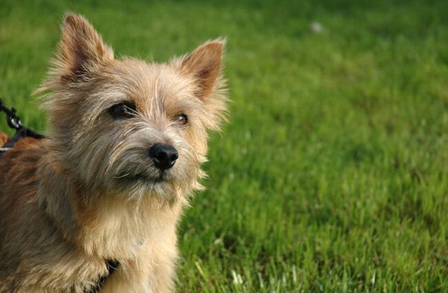 Curious Norwich Terrier Photo by: Marco Nijlandhttps://creativecommons.org/licenses/by-nc-sa/2.0/